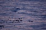 Südlicher Glatwal in unmittelbarer Küstennähe