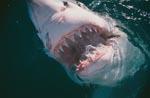 Gebiß des Weißen Hais