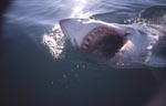 Der Weiße Hai mit seinen eindrucksvollen Zähnen