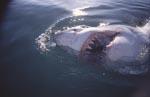 Der Weiße Hai und seine scharfen Zähne