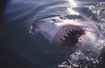 Weißer Hai zeigt seine Zaehne an der Meeresoberflaeche