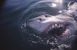Weißer Hai durchbricht die Meeresoberflaeche