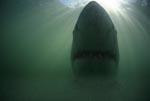 Weißer Hai - ein Mythos