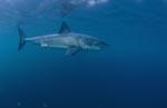 Geheimnisvoller Raubfisch Weißer Hai