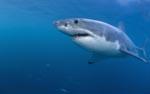 Faszination Weißer Hai