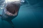 Weißer Hai Rachen aus der Sicht einer Pelzrobbe