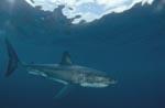 Der Weiße Hai ist der groeßte Raubfisch der Meere