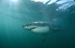 Eindrucksvoller Spitzenräuber Weißer Hai