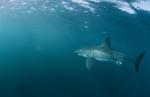 Weißer Hai im Gebiet der Pelzrobben