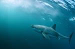 Erfolgreicher Räuber Weißer Hai