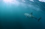 Großer Weiße Hai schwimmt zum Lichteinfall