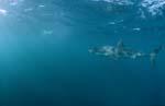 Großer Weiße Hai ist interessiert an Pelzrobben