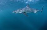 Ein imposanter Großer Weißer Hai gleitet durch das Wasser