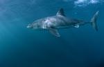 Imposanter Großer Weißer Hai auf Beutesuche