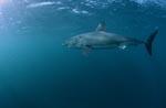 Hocheffizienter Meeresräuber Großer Weißer Hai