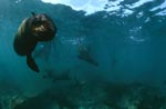 Südafrikanische Pelzrobbe nähert sich unterwasser