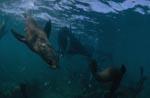 Neugierige Südafrikanische Pelzrobbe unterwasser