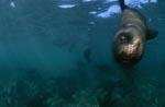 Südafrikanische Pelzrobbe schwimmt auf mich zu
