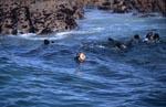 Weiße Haizaehne haben den Robbenkoerper durchtrennt