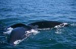 Fluke des Südlichen Glattwals gerade noch über Wasser