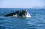 Südlicher Glattwal hebt den Kopf über Wasser