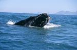 Südlicher Glattwal durchbricht die Wasseroberfläche