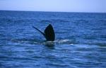 Südlicher Glatwal taucht ab