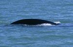Südlicher Glattwal an der Küste von De Kelders