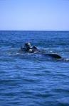 Südlicher Glattwal an der Wasseroberfläche