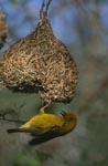 Kapweber ist fleißig beim Nestbau