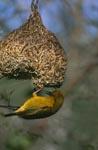 Kapweber mit seinem fertigen Nest