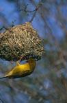 Kapweber am Nest