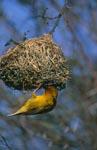Kapweber überprüft sein Nest