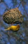 Kap-Webervogel hängt unter seinem Nest