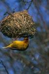 Kap-Webervogel am Nest