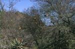 Kap-Webervogelkolonie