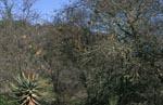 Der Kap-Webervogel lebt in einer Kolonie