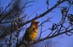 Kap-Webervogel auf einem Ast