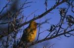 Kap-Webervogel auf einem Baum