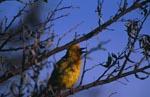 Kap-Webervogel