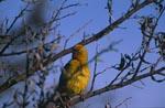Kap-Webervogel im Geäst