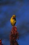 Kap-Webervogel mit einem Spitzenplatz