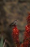 Kap-Webervogel auf einer Aloeblüte