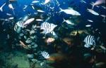 Taucher in Fischkonzentration am Shark Reef