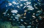 Taucher im Fischschwarm am Shark Reef