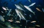 Giant Travelly, Taucher und andere Fische