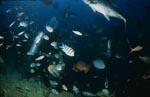 Taucher im Fischschwarm