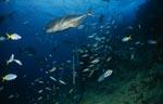 Giant Travelly und Taucher im Fischschwarm