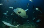 Napoleon-Lippfisch schwimmt an Taucher vorbei