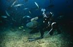Erstaunt schaut der Napoleon-Lippfisch zum Taucher